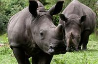 uganda Rhino